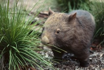 Common-wombat-©Alan-Henderson-1280x840.jpg